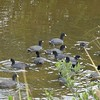 """On Black Point Drive in Merritt Island National Wildlife Refuge near Titusville, FL, we encountered a """"cootilla"""" of American Coots."""