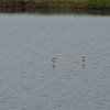 American Avocets each perched on one leg.
