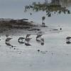 Greater Yellowlegs and friends (sanderlings?)