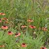 Blanket flowers (gaillardia).