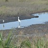 White Ibis, Snowy Egret, and Great Egret share a fishing spot.