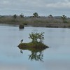Tricolor Heron on a mangrove island.