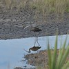 Glossy Ibis.  Note the cracked mud bed showing how dry it has been in the area before the heavy rain the previous day.