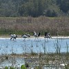 Wood Storks were fishing in shallow water of Snipe Pond.