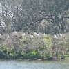 A few Wood Storks on left along with many Great Egrets beginning to build nests in trees on the far side of Woody Pond.