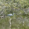 Tricolor heron fishing.  (formerly known as a Louisiana heron).