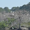 Wood Storks in trees with Great Egret walking below.