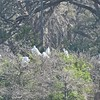 Great Egrets working on nests.