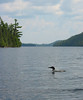 This loon played within 20 feet of our canoe for a good ten minutes while we drifted down Winchell Lake, swimming directly underneath us once.