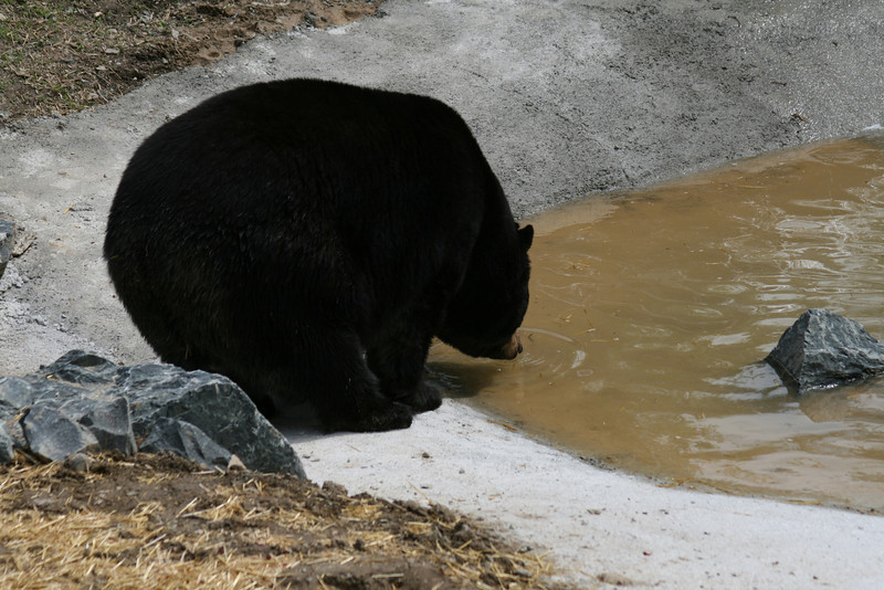 A very large and fat black bear, which has been kept in captivity all its life. This is its new home at the Ely Bear center.
