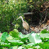 """Limpkin - (a real one, not """"an almost Limpkin"""")."""