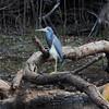 Tricolor (Louisiana) Heron