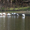 Flock of white Ibis, mature and immature, along the<br /> Withlachoochee River, south<br /> February 26, 2011