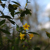 Yellow Jasmine blossoms.