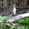 Immature Little Blue Heron along Ocklawaha River<br /> February 25, 2011