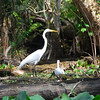 Great Egret with 2 white Ibis