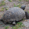 """A land tortoise known locally as a """"gopher"""",<br /> found in a field at the Silver River State Park, <br /> Feb. 25, 2011."""