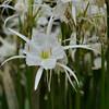 Cahaba lily (Hymenocallis coronaria).