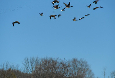 Flight of the geese with hundreds in the background (upper left)