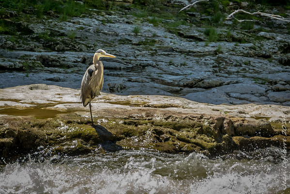 Heron ... the poser, he wouldn't fly away!