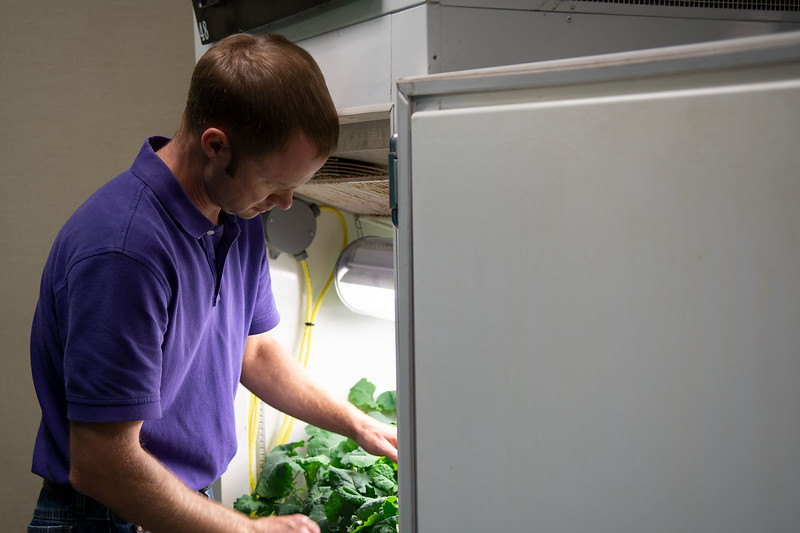 Michael Stamm, canola breeder in the Department of Agronomy, checks on winter canola plants in a vernalization chamber. The plants will be transplanted in a greenhouse after they undergo an eight-week cold temperature treatment to induce flowering. (Dylan Connell   Collegian Media Group)
