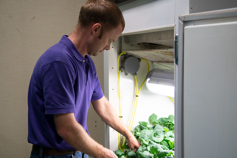 Michael Stamm, canola breeder in the Department of Agronomy, checks on winter canola plants in a vernalization chamber. The plants will be transplanted in a greenhouse after they undergo an eight-week cold temperature treatment to induce flowering. (Dylan Connell | Collegian Media Group)