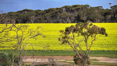 Trees and Canola