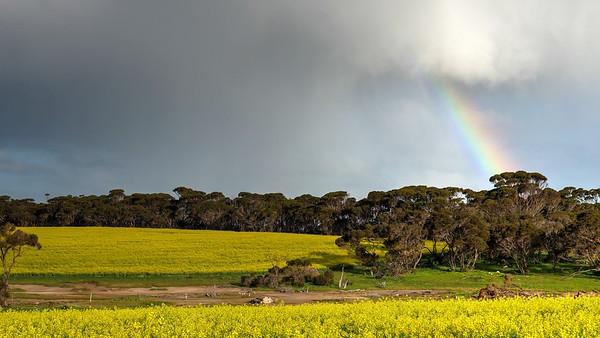 Rainbow and Canola3