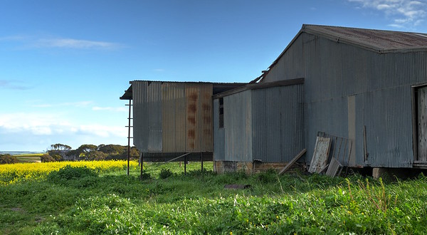 Shearing Shed and Canola