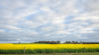The Canola crop