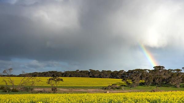Rainbow Canola