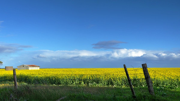 Shed, Canola and Fence