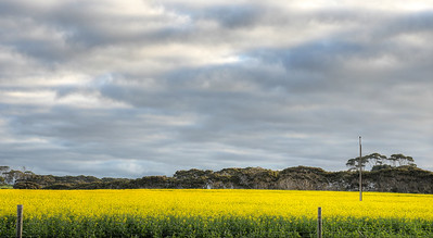 The Canola Crop2