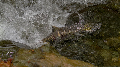 IMG_1225 salmon run sooke