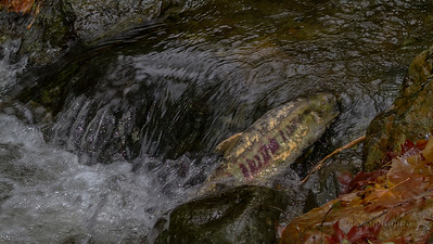 IMG_1315 salmon run sooke1