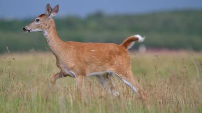 IMG_7929 deer