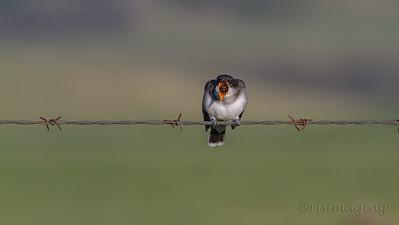 IMG_9882 kingbird