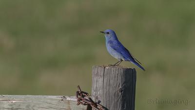 IMG_5314 bluebird
