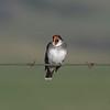 IMG_9879 kingbird