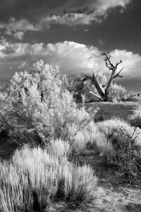 Dead Tree and Native Grass - Rim - UTAH