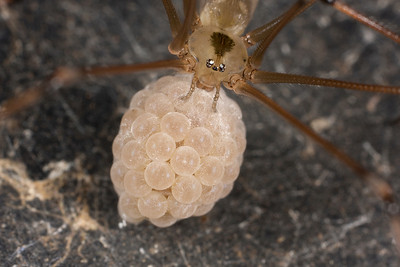 Female Daddy Long Legs With Egg Sack