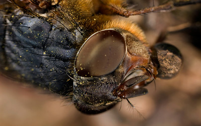 Bubble Blowing Fly - Closer Look