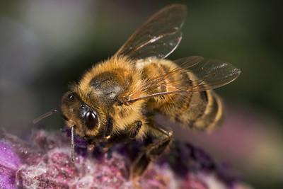 Bee on Lavandar Head 2