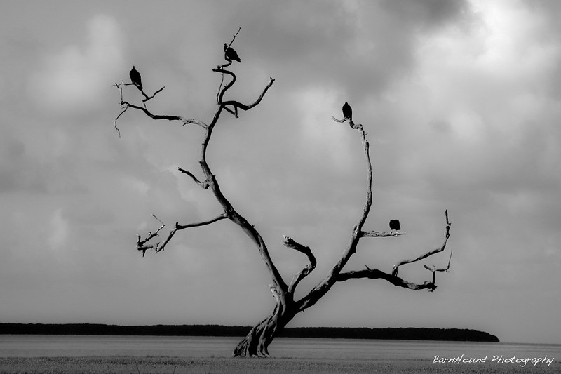 Sunning Vultures - Everglades National Park