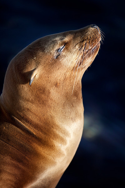 California Sea Lion _MG1355