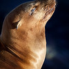 California Sea Lion _MG1355