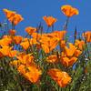 Poppies 2073