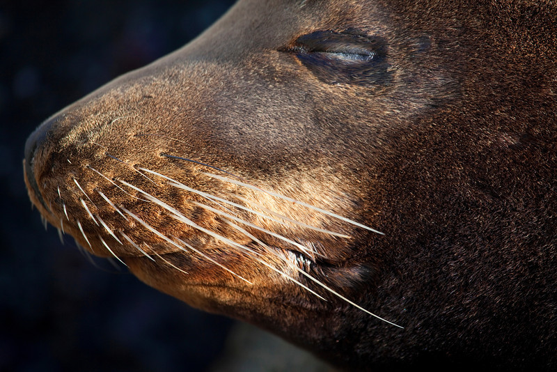 Sea Lion Whiskers _MG_1411