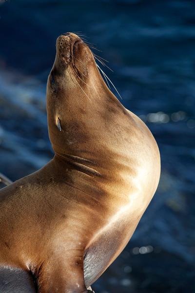 California Sea Lion _MG_1351