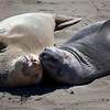 Elephant Seals 2157